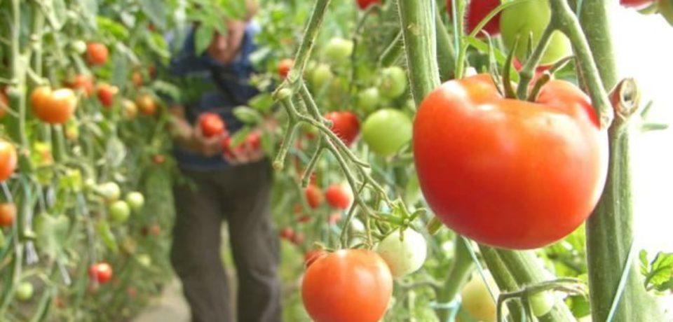 Din 23 octombrie, cultivatorii bihoreni de tomate îşi pot valorifica recolta