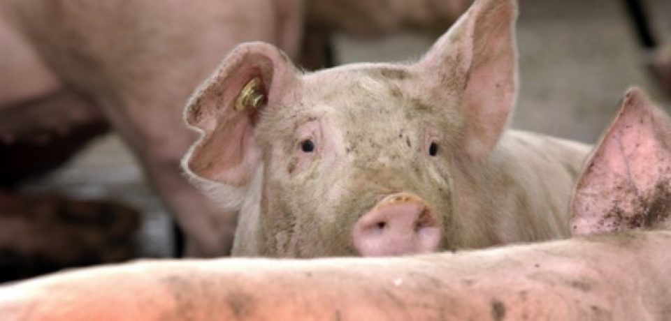 Bihorul pare ca scapa de pesta porcina
