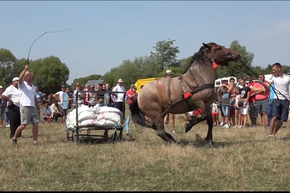 VIDEO: Un concurs de tractiune cu cai, organizat in Osorhei a scandalizat internetul. Clipul are peste 4 milioane de vizualizari pe youtube