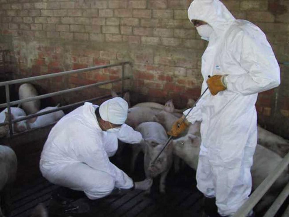 Actualizarea situației Pestei Porcine Africane în Bihor. Comunicat