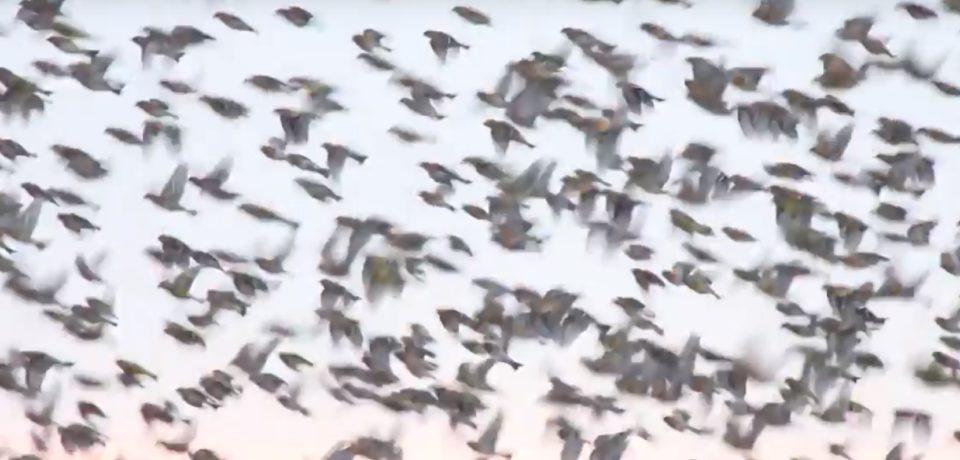 Filmare spectaculoasa in Parcul Natural Cefa. Sute de cinteze se pregatesc sa zboare spre Rusia si Scandinavia. VIDEO