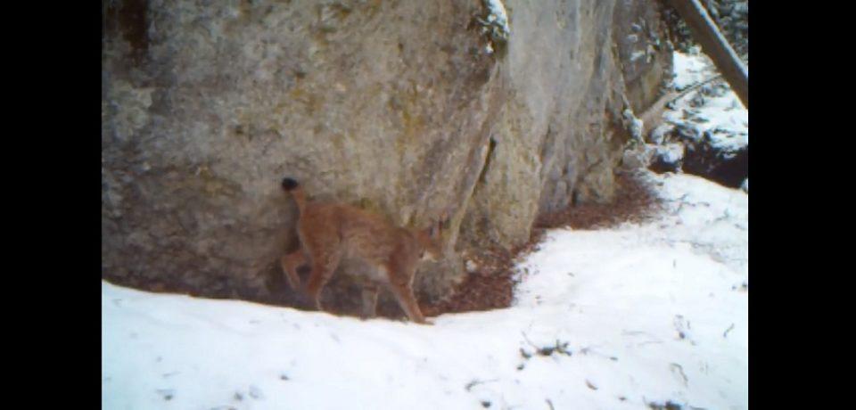 Noi imagini cu animale rare din Parcul Natural Apuseni. Un ras isi marcheaza teritoriul. VIDEO