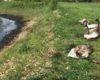 Lebedele salvate dintr-o baltă cu reziduuri petroliere din Bihor, sunt îngrijite la Târgu Mureș