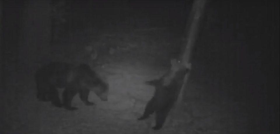 """VIDEO: Micul Baloo din Apuseni. Un urs a fost filmat, in Parcul Natural, in ipostaze similare cu  celebrul personaj din """"Cartea Junglei"""""""