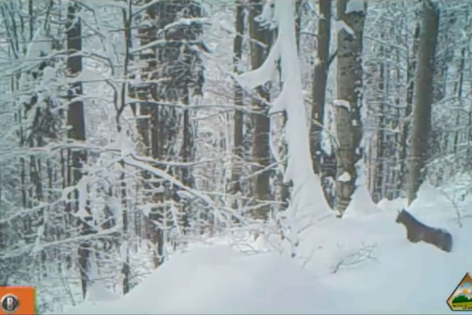 Un râs a ieşit la vânătoare, prin zăpadă, în Parcul Natural Apuseni. VIDEO