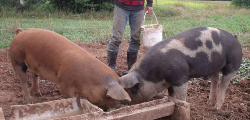 Ţăranii care au mai mult de 5 porci vor plăti impozit la stat