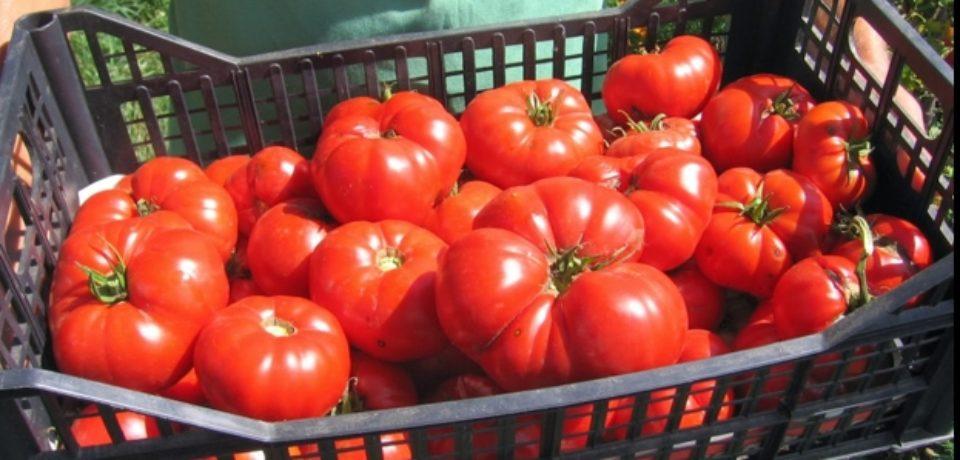 Ministerul Agriculturii: Roşiile româneşti existente în prezent pe piaţă sunt sigure pentru consum